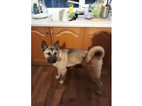 Lovely puppy 6 months old. Alsatian x akita. Beautiful character, loving puppy.