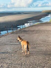 Husky x Belgian Malanoi for sale