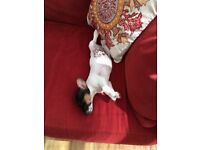 Jack Russell puppy for sale to a good home