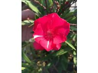 Unique magenta pink potted oleander / rhododendron suit patio, garden or terrace.
