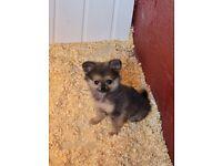 Tiny wee pomeranian cross morkie puppy