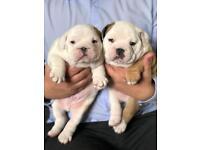 2 Male KC reg English Bulldog puppies