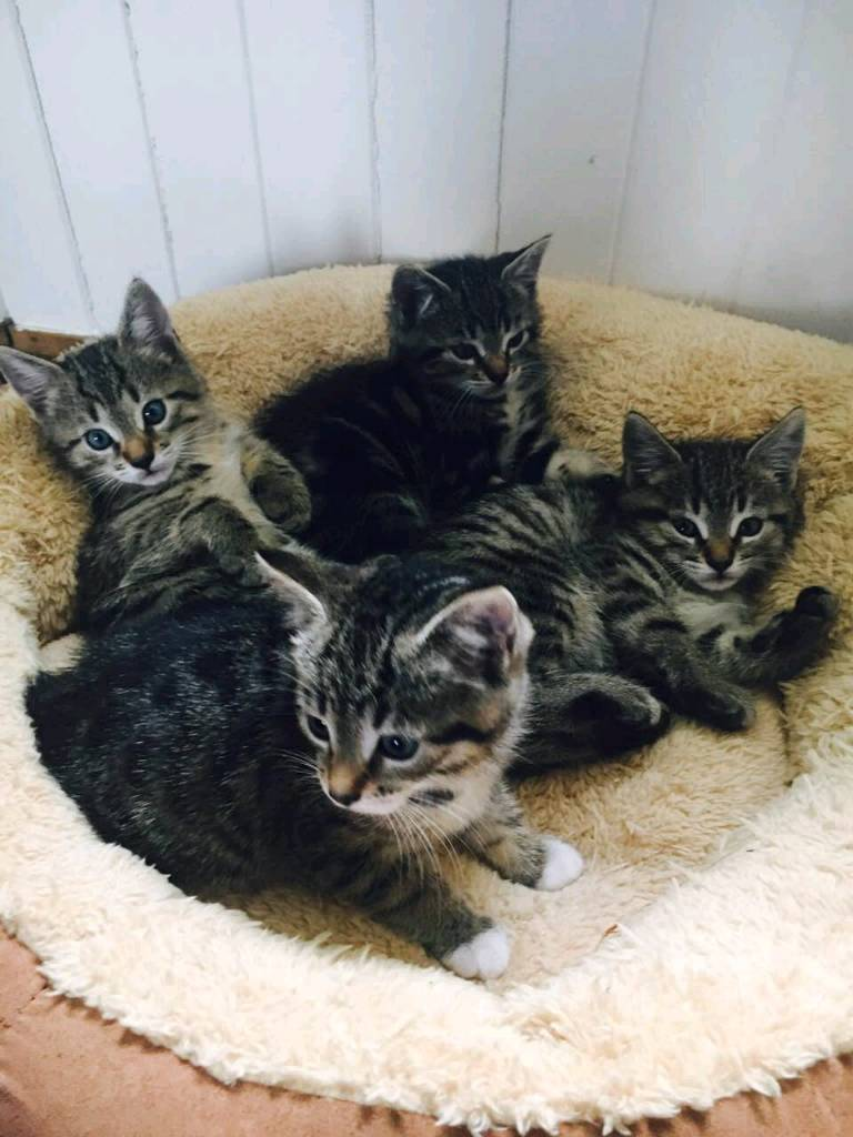 Lovely tabby x Bengal kittens for sale! | in Crail, Fife | Gumtree