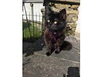 Birman X cat for sale