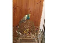 3 budgies (1 female and 2 male) plus cage and accessories for sale