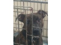 4 month old male staffy pup brindle