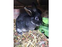 Silver Marten x Harlequin Lop Baby Rabbits
