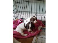 Springer puppies