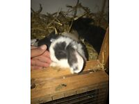 LILAC SPLIT PURE MINI LOP 8 WEEK OLD RABBIT FEMALE DOE