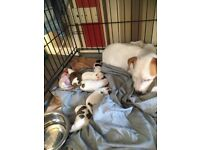 3 jack Russell pups for sale
