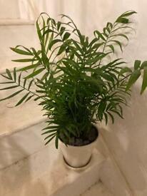 Parlour Palm house plant 66cm tall