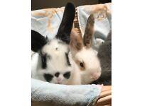 Gorgeous bunnies - lion head mix