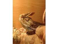 2 Bearded Dragons and a Vivarium for sale