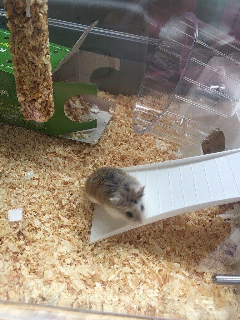 Roborovski Hamster 5 months old | in Pilton, Edinburgh | Gumtree