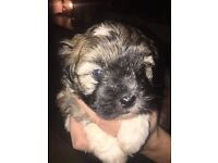 Shih Tzu puppy for sale!