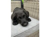 Labradoodle puppies- Labrador x Poodle - 1 boy left