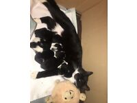 2 black and white kittens, potty trained, weaned off the mother and 7 weeks old