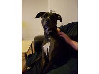 Staffie/boxer cross for sale
