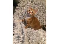 Ginger & Tabby Kittens For Sale