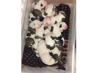 AB puppies