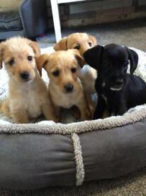 Stunning Jackapoo Puppies