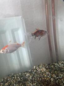 Goldfish with fish tank for sale Nottingham