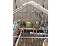6 beautiful budgies and a small cage