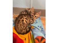 Two male Bengal kittens, born 17th Aug