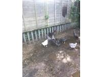 14-15 week old bluebells, marans, white Sussex chickens hens girls