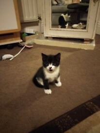 Last Kitten 1 month old for sale