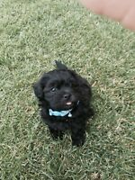 3 Bishon Shitzu Toy Poodle puppies for sale