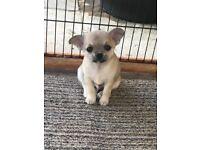 Super Cute Chihuahua Puppies