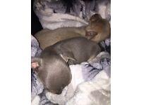 Lilac chihuahua pups