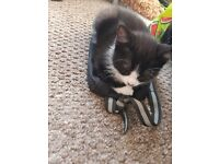 Beauty male kitten
