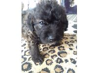 Jackapoo puppys 2 beautiful boys left ready now. Wormed. Microchiped