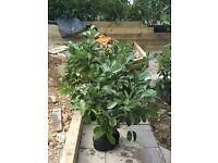 Laurel hedging plants (quantity 13), good well-watered root balls, bargain £15 each