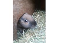 Male rabbit needing a home