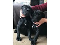 Cane corso female pups