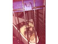 Female rats x3 free to good home
