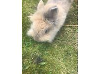 Female lionhead cross rabbit