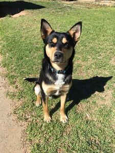 Free to good home kelpie x collie sheep dog Young Young Area Preview