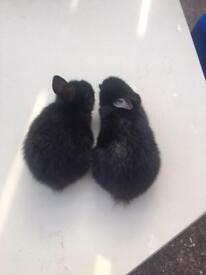 Rabbit babies for sale