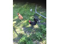 Chicks and hens for sale