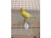 Canaries pair for sale