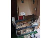 Guinea pigs, plus equipment for sale