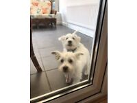 Two 15 week old Maltese/Westie cross pups fully vaccinated and microchipped