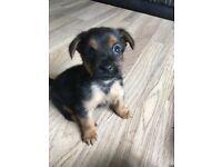Yorkshire terrier x puppies