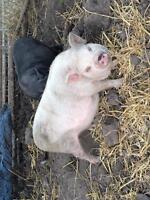 Cute pot belly pigs for sale