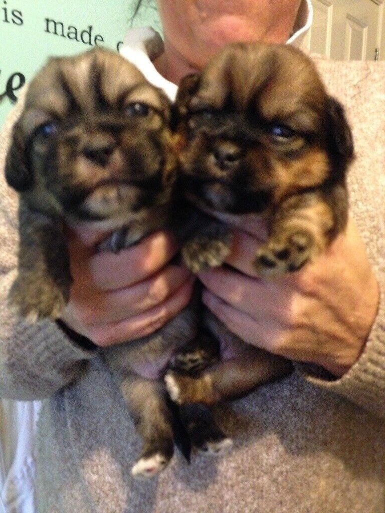 Shih Tzu puppies 2 boys left