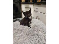 5 fluffy & Adorable kittens for sale